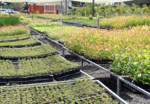 Eastern Forest Nursery Contract Growing of Australia Native Plants