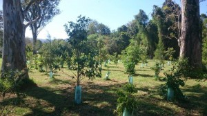 Contract Planting of  Australian Native  Plants by Eastern Forest Nursery